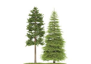 arbres résineux